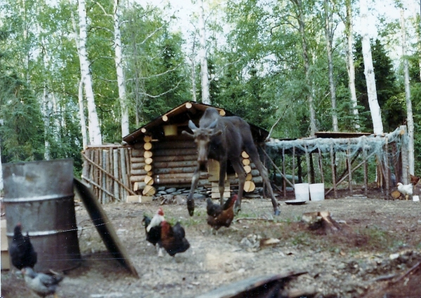 Chickens go scurrying when a young bull moose pays a visit!
