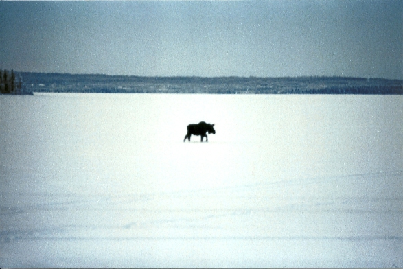 A moose out on the frozen surface of Skilak Lake.